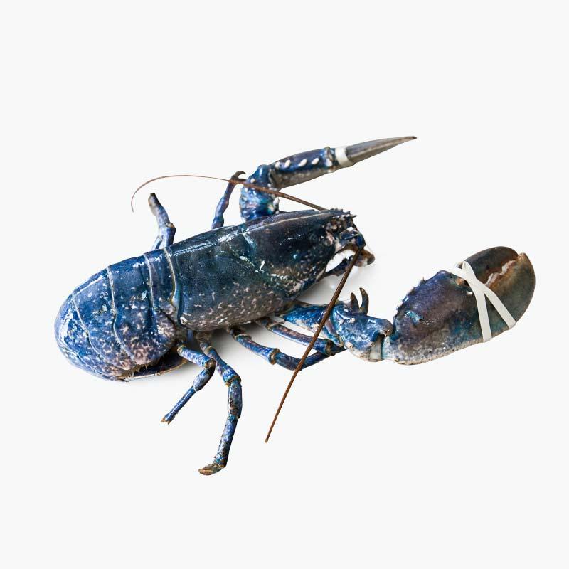 Alive Blue Lobster 650-800g