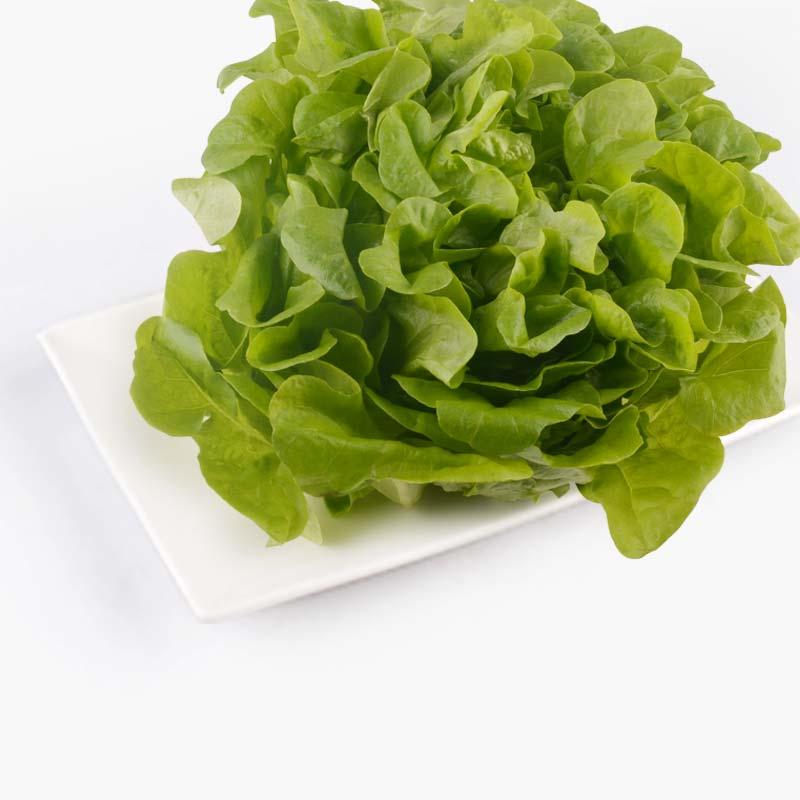 Aqua Green Green Oakleaf Lettuce 120g