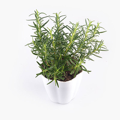 Potted Rosemary Plant x1