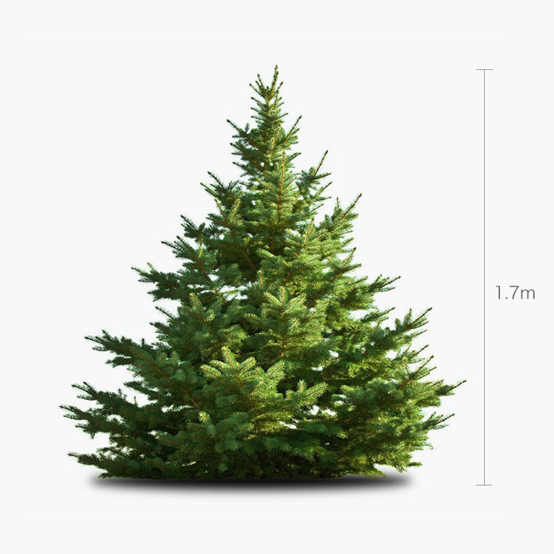 Fresh Christmas Tree 1.7m
